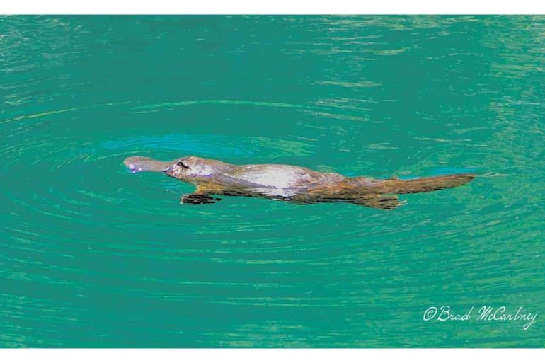 Platypus Blue Lake