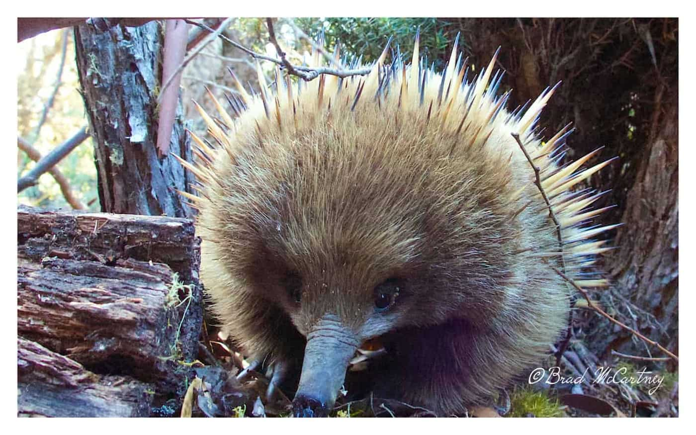 Echidna on the Overland Track Tasmania