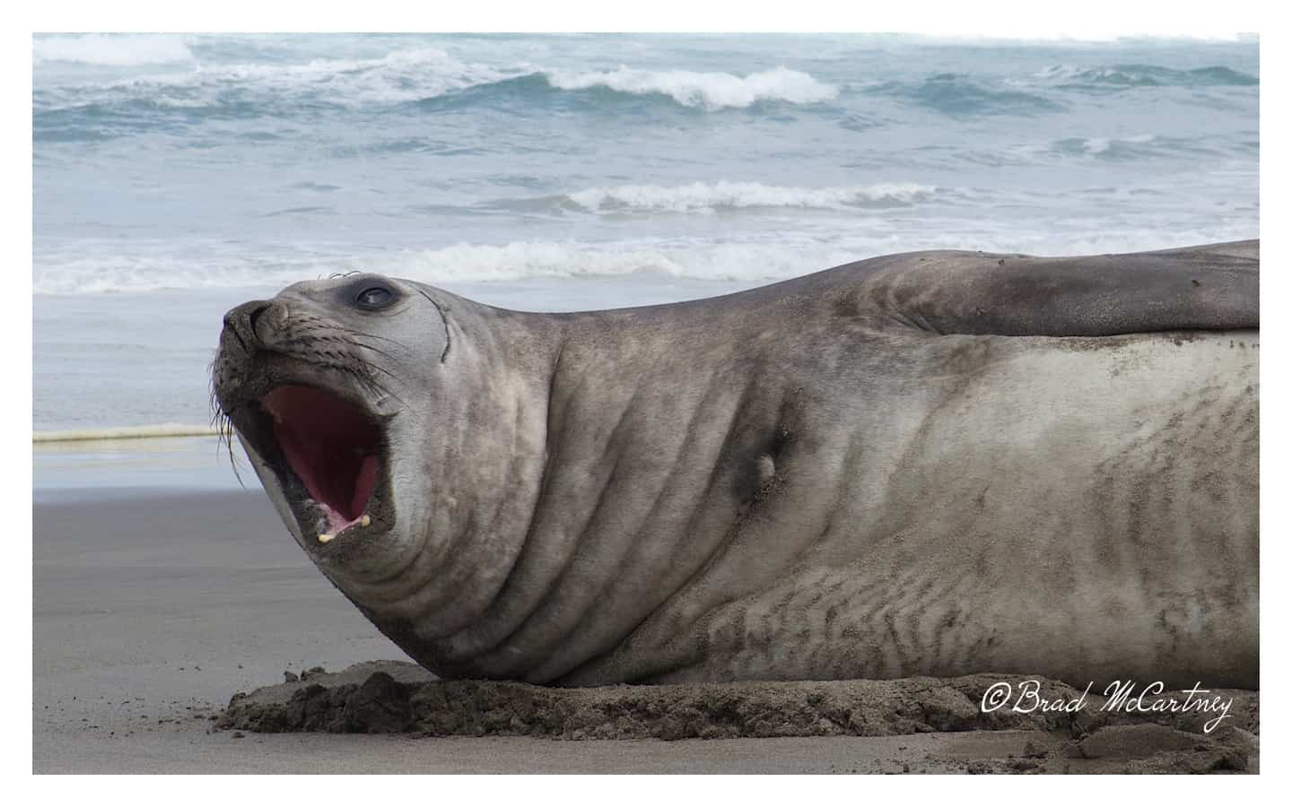 Elephant Seal on the beach in Tasmania Australia