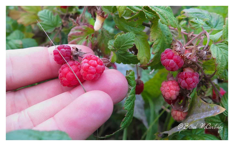 I ate huge quantities of wild raspberries