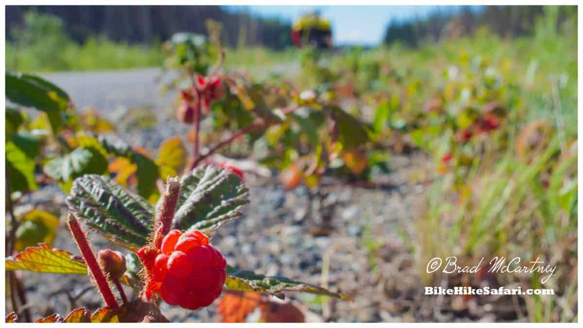 Many patches of berries on the side of the road were eaten when I was hungry, they were everywhere