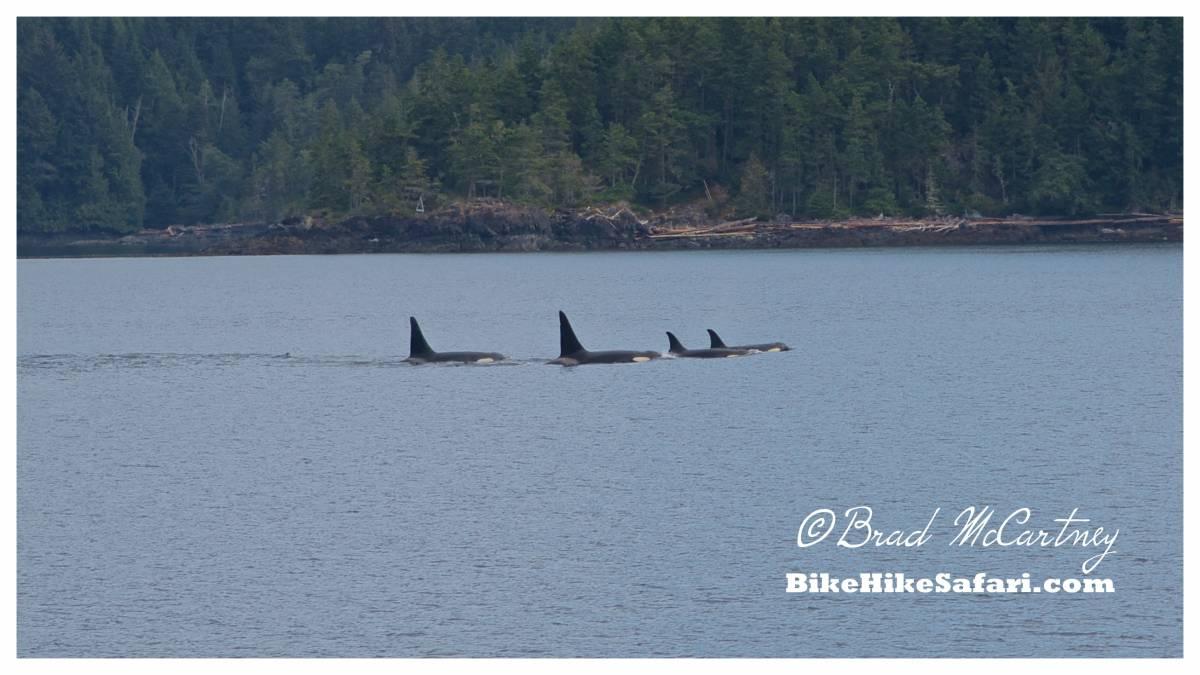 Killer Whales also known as Orcas.