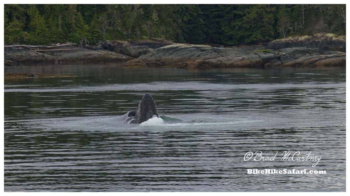 Bubble net feeding Humpback Whale, Telegraph Cove