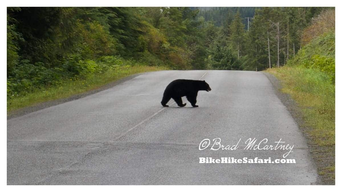 Then the Black Bear just casually strolls off the road