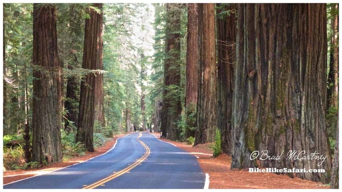 the road through the avenue of the giants