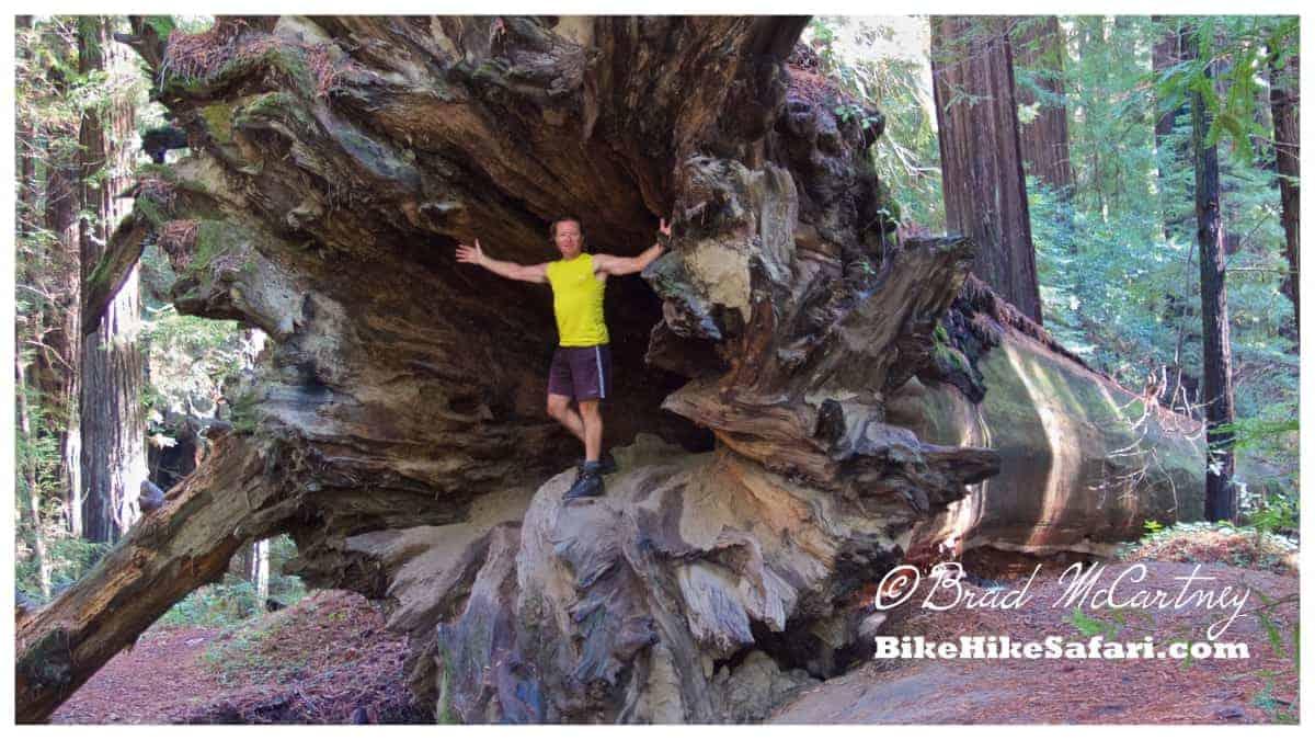 large redwood fallen down