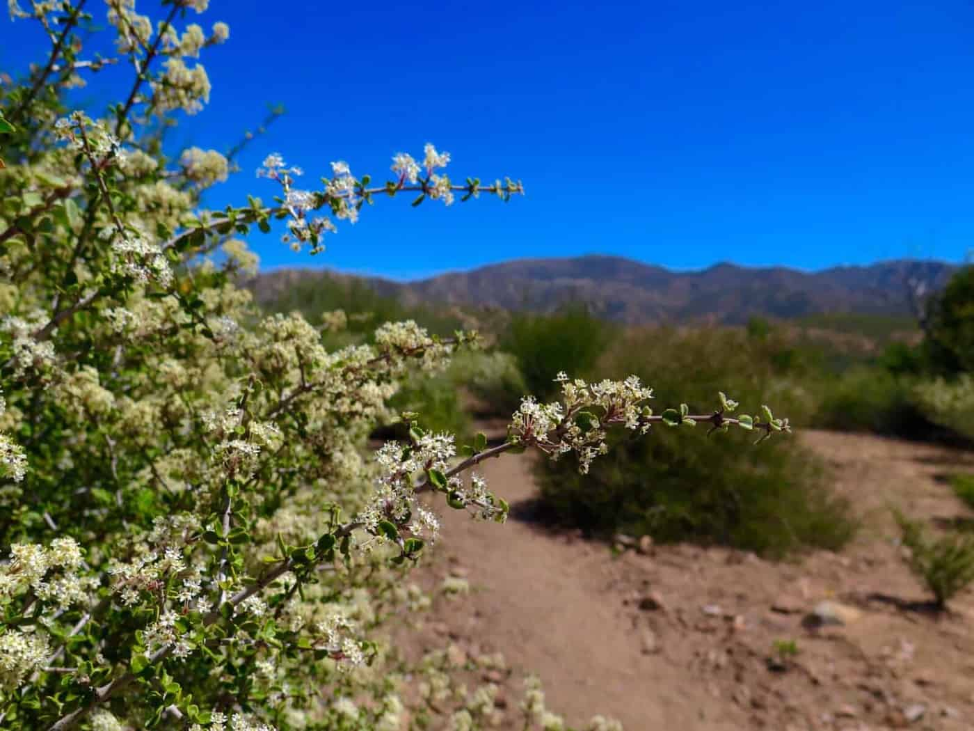 pacific crest trail desert flower