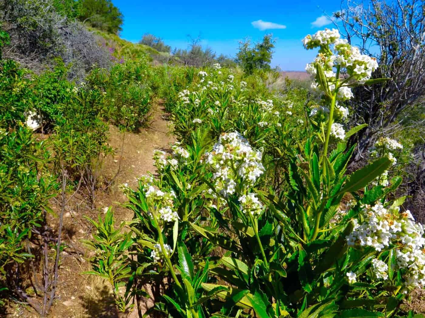 pacific crest trail flowers