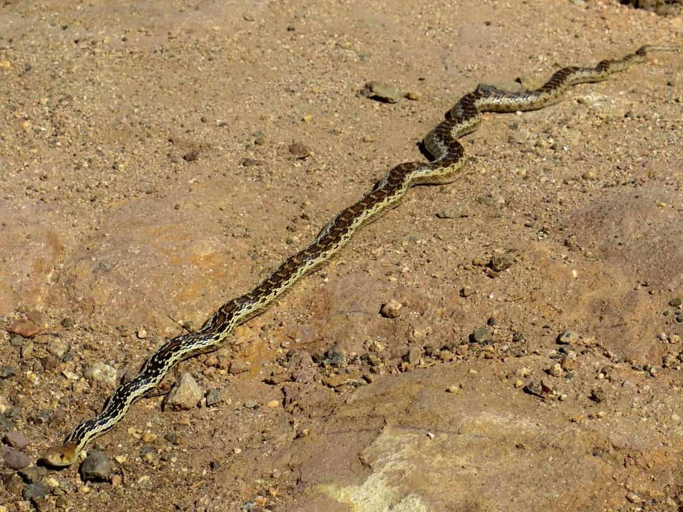 Gopher Snake Pacific Crest Trail