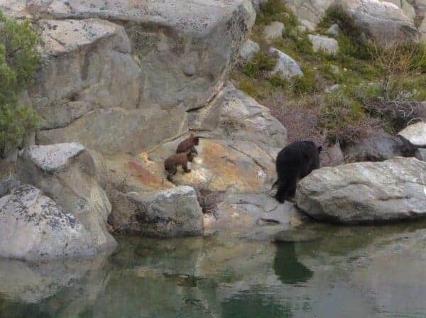 bear and cubs on Rae Lake trail