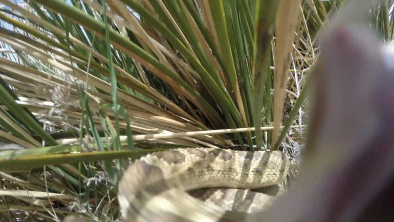Rattlesnake attack