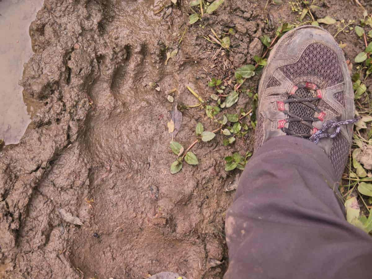 Big Grizzly Bear print
