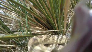 Rattlesnake attack on gopro