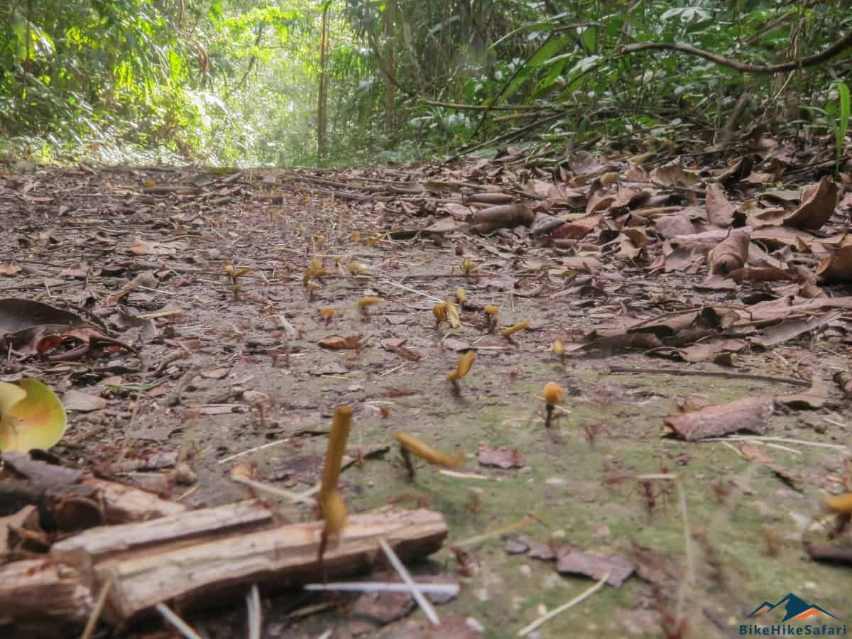 Leaf Cutter Ants on the trail