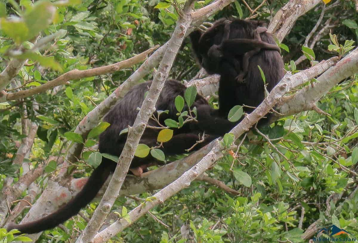 Lamanai Howler Monkeys