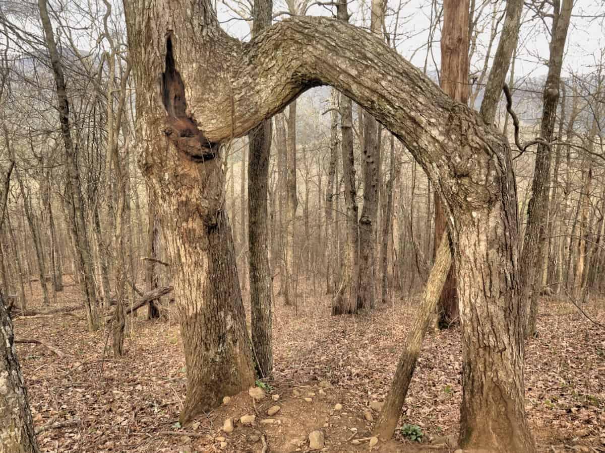 bent tree