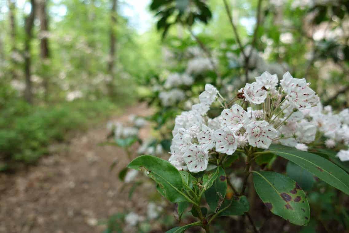 Flowers on the Appalachian Trail
