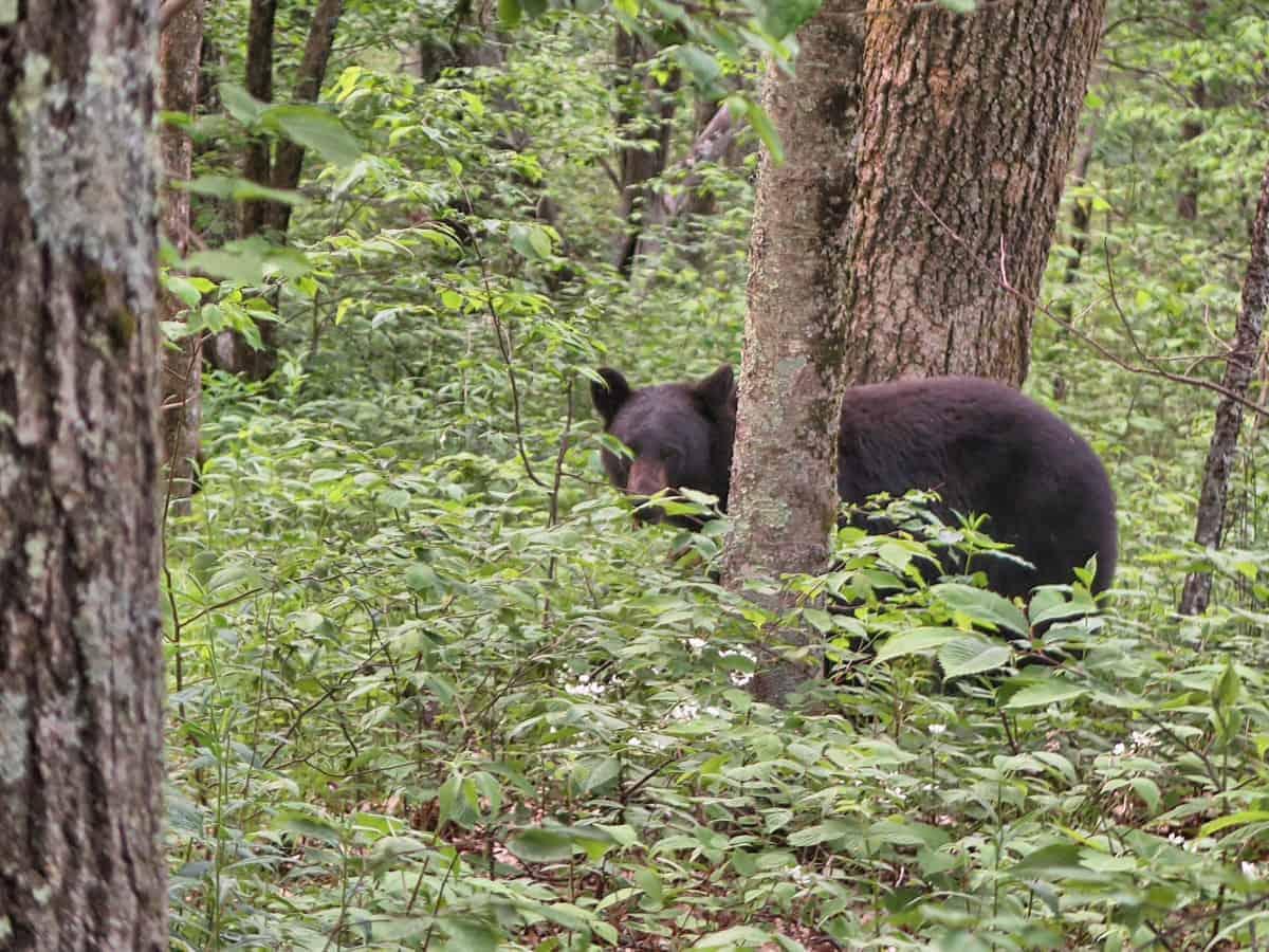 Appalachian Trail Bears