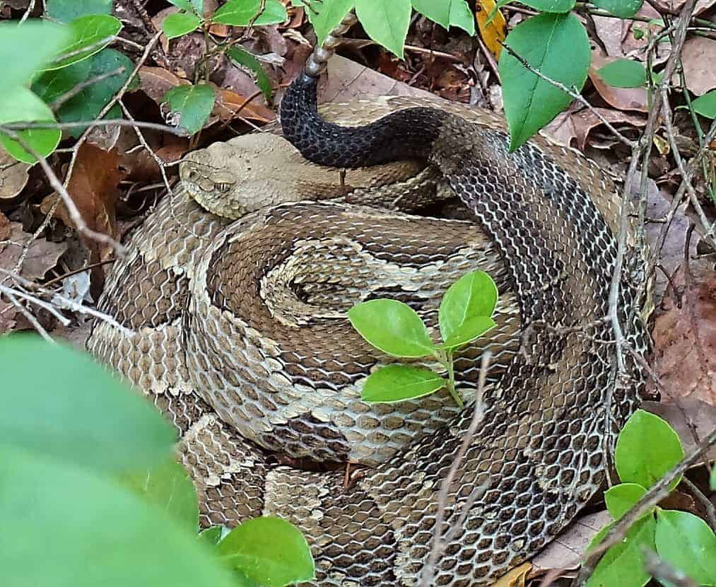 Rattlesnakes on the Appalachian Trail are only common during the warm and humid months