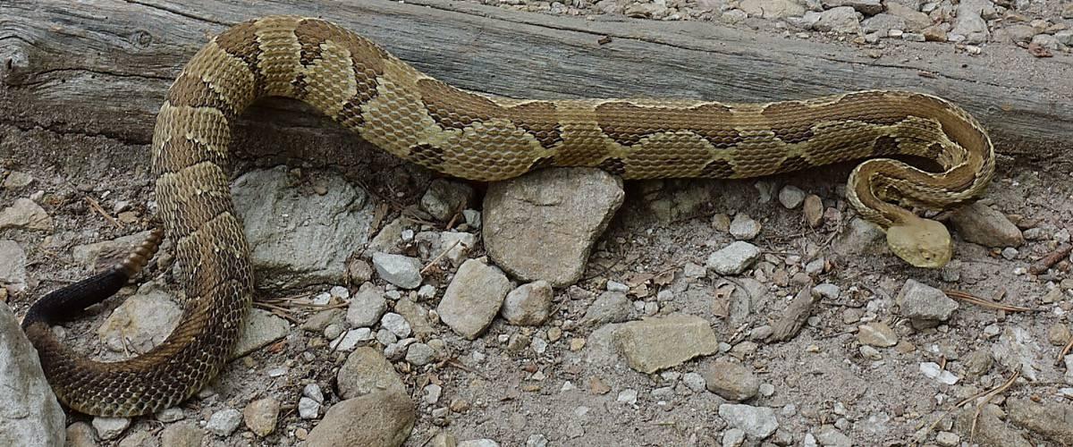 Large Rattlesnake on the Appalachian Trail