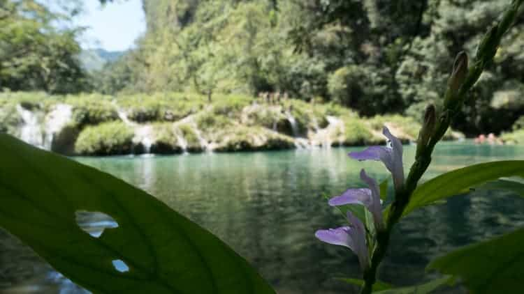 guatemala semuc champey flowers