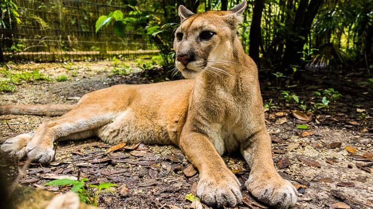 belize zoo puma